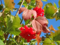 Red Guelder